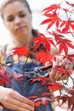 Female Gardener Clipping Maple Branch Stock Photo
