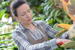 Female gardener concentrating on cutting flower in greenhouse Royalty Free Stock Images