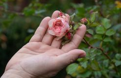 Female Gardener holding a filled pink erotic rose flower on the rose bush in the rose garden with love in her fingers royalty free stock photos