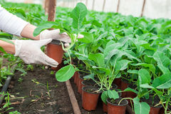 Female gardener holding pots in greenhouse Royalty Free Stock Photos