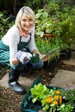 Female gardener holding potted plant while using digital tablet. Portrait of mature female gardener holding potted plant while using digital tablet at greenhouse Royalty Free Stock Photos