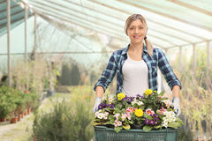 Female gardener holding a rack of flowers. Joyful female gardener holding a rack of flowers in a greenhouse Stock Photo