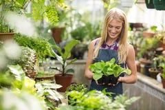 Female gardener holding saplings at greenhouse Royalty Free Stock Image