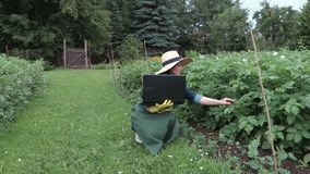 Female gardener with laptop near potatoes plants. In summer day stock video footage