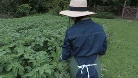 Female gardener near potatoes plants looking for beetles. In summer day stock video footage