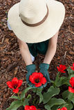 Female gardener planting red flowers Royalty Free Stock Photography