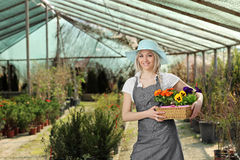 Female gardener posing with a basket full of flowes in a hothouse. Female gardener posing with a basket full of flower pots in a hothouse royalty free stock image