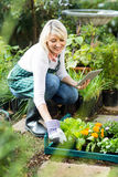 Female gardener using tablet computer while working. Happy female gardener using tablet computer while working at greenhouse Royalty Free Stock Photo