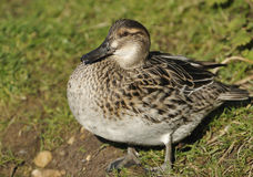 Female Garganey Stock Photos