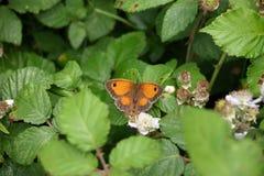 Female gatekeeper butterfly royalty free stock image