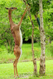 Female Gazelle Eating