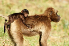 Female Gelada Baboon and cub Stock Photography