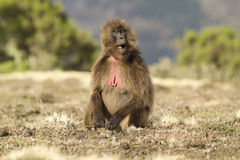 Female Gelada Baboon (Heropithecus gelada). Sitting and chewing Royalty Free Stock Image