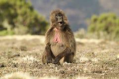 Female Gelada Baboon (Heropithecus gelada) Royalty Free Stock Image