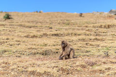 Female gelada baboon sitting on a highland slope Royalty Free Stock Images