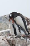 Female Gentoo penguin chicks during feeding Royalty Free Stock Image