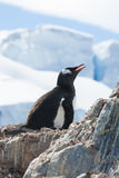 Female Gentoo penguin sitting on a nest on the background of the Royalty Free Stock Photography