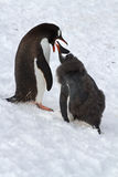 Female Gentoo penguins that feeds the chick standing on Stock Image