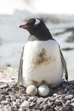 Female Gentoo Penguins On Nest With Two Eggs Royalty Free Stock Images
