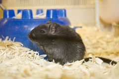 Female gerbil Royalty Free Stock Photo