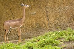 Female Gerenuk. In Los Angeles zoo chewing the cud Stock Photography