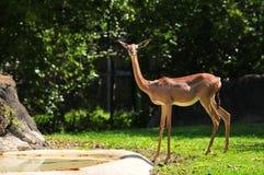 Female Gerenuk Royalty Free Stock Photos