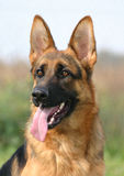 Female German shepherd. Portrait of purebred german shepherd, beautiful young female stock images