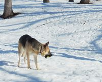 Female German Shepherd dog with ball. A female German Shepherd dog standing in the snow with a ball in her mouth royalty free stock images