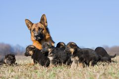 Female German Shepherd dog with puppies Stock Photos