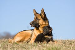 Female German Shepherd dog with puppy Royalty Free Stock Photography