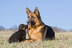Female German Shepherd dog with puppy Royalty Free Stock Photo