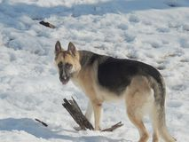 Female German Shepherd dog in snow Royalty Free Stock Photography