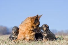 Female German Shepherd dog with two puppies Royalty Free Stock Photography