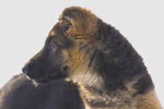 Female German Shepherd puppy (3 month old) Stock Photography