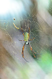 Female Giant Golden Orb Weaver Spider Stock Photos