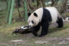 A female giant panda walking in a zoo stock images