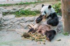 A female giant panda bear enjoy her breakfast royalty free stock photo