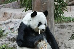 Female Giant Panda in Chiangmai, Thailand. Fluffy Giant Panda is Eating Bamboo Stick Stock Photo