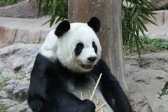 Female Giant Panda in Chiangmai, Thailand. Fluffy Giant Panda is Eating Bamboo Stick Royalty Free Stock Photos