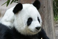 Female Giant Panda in Chiangmai, Thailand. Fluffy Giant Panda is smiling to the tourists Royalty Free Stock Images