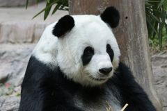 Female Giant Panda in Chiangmai, Thailand. Fluffy Giant Panda is smiling to the tourists Royalty Free Stock Image