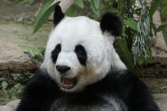 Female Giant Panda in Chiangmai, Thailand. Fluffy Giant Panda is smiling to the tourists Royalty Free Stock Photography