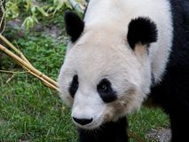 A female giant panda walks with her head down stock photo