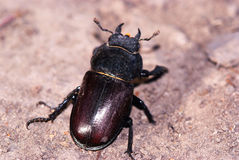Female of giant stag beetle Stock Photo