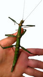 Female Giant Stick Insect Royalty Free Stock Photos