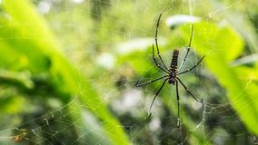 A female giant woods spider in the mountain forest of Taipei royalty free stock photo