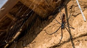 A female giant woods spider in the mountain forest of Taipei stock photos