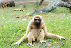Female Gibbon Royalty Free Stock Photos
