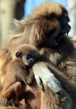 Female Gibbon with baby Royalty Free Stock Image