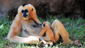 Female Gibbon monkey nursing baby Stock Photo